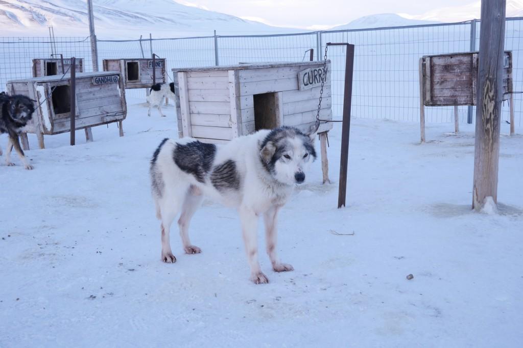 Lederhunden Curry måtte lokkes ut av huset sitt, men viste seg å gjøre jobben glimrende likevel. Foto: Carina Alice Bredesen